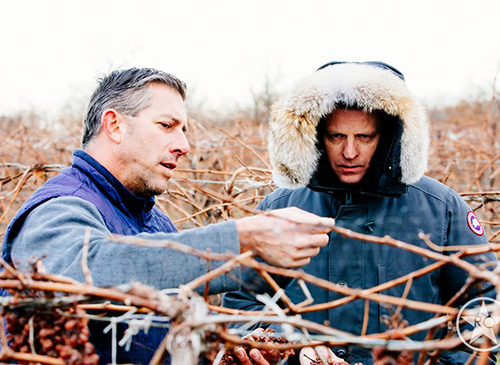Glenfiddich Malt Master Brian Kinsman examining Icewine grapes at Peller Estate